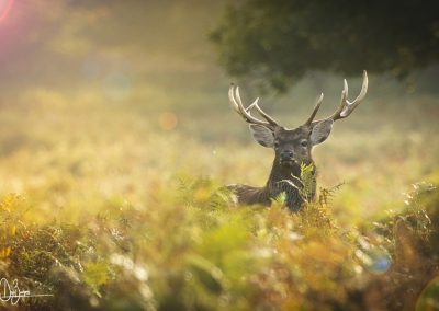 Red Deer by Dan Burgess