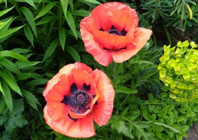 Poppies in the Millennium Gardens- 2