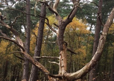 Old tree at Lords Hill - photograph by kind permission of Johanna Beilby